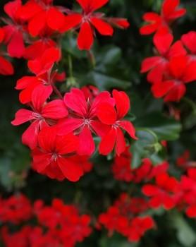 geranium-141550_640