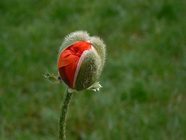poppy-186925_640