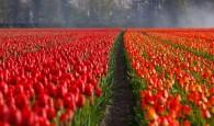 tulips-21690_640